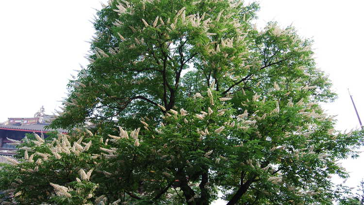 Aesculus Chinensis Garden Trees