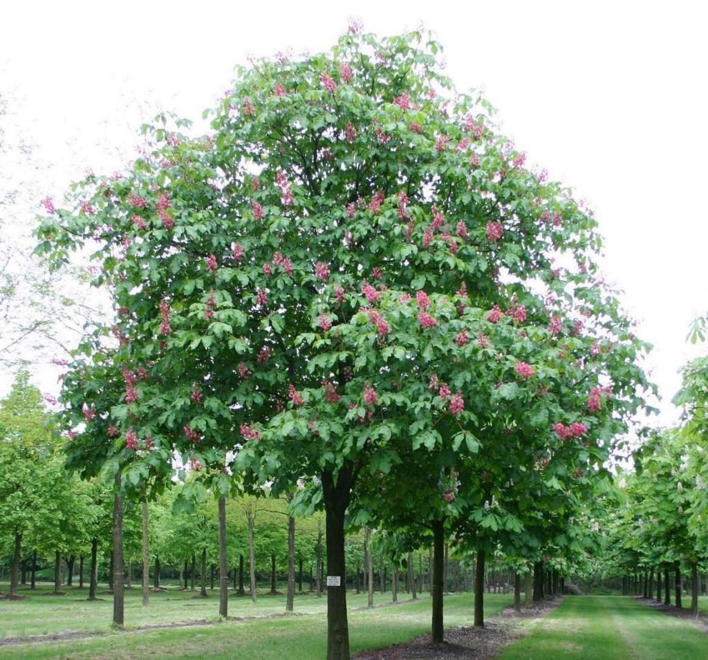 Briotii Garden Tree
