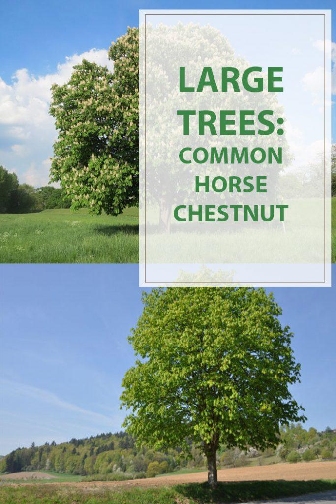 Common Horse Chestnut Garden Tree