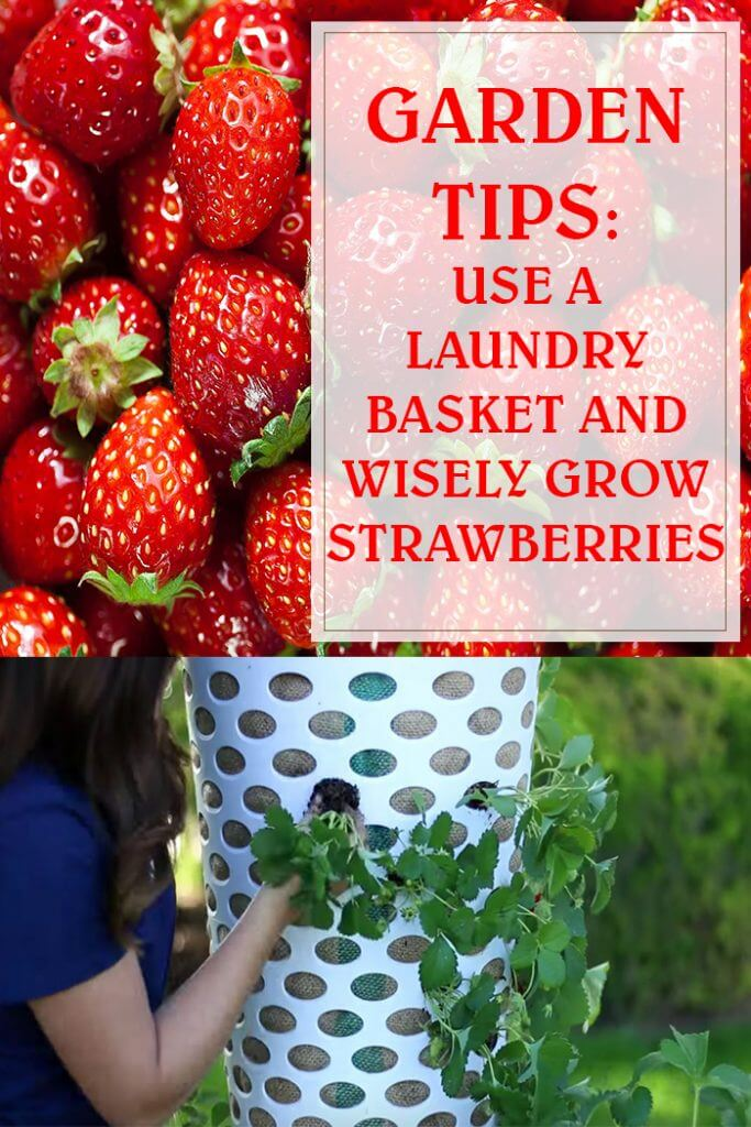 Use A Laundry Basket And Wisely Grow Strawberries